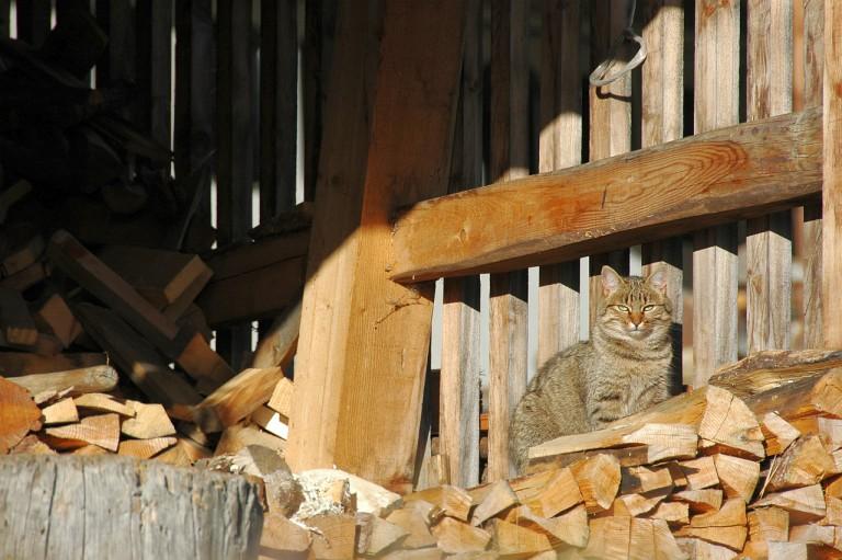 Katze Ahornach