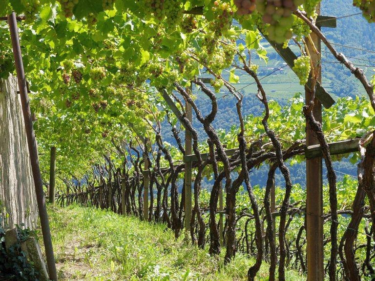 Weinstöcke in St.Magdalena