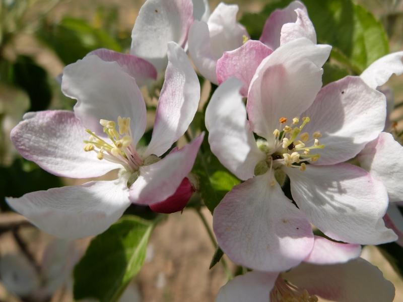 Apfel / Pinova