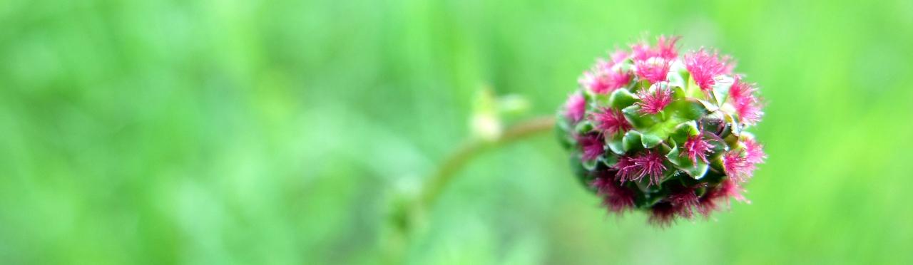 Kleiner Wiesenknopf (Pimpinelle)