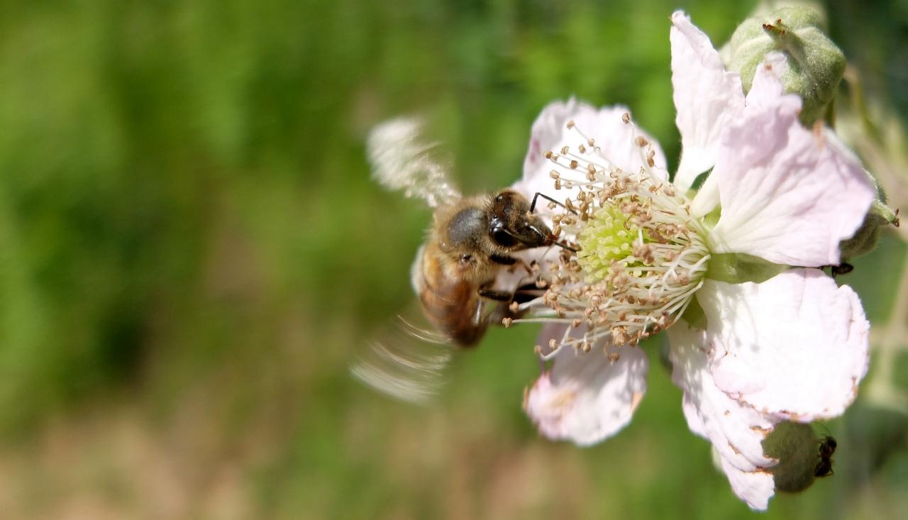 Wildbiene an Brombeerblüte